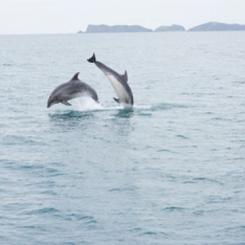 Bay of islands cruise - dolphins play
