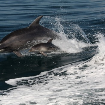 Dolphins play during cruise